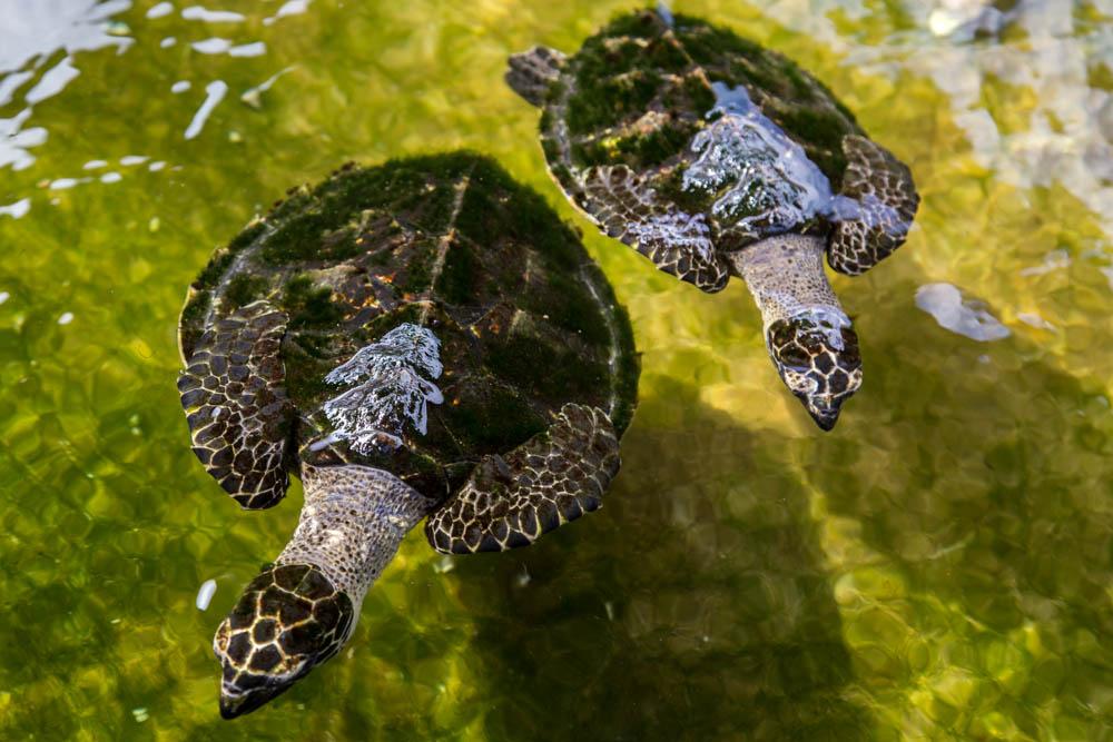 Makongai turtles
