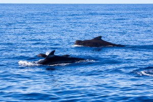 Pilot whales leaving Fiji